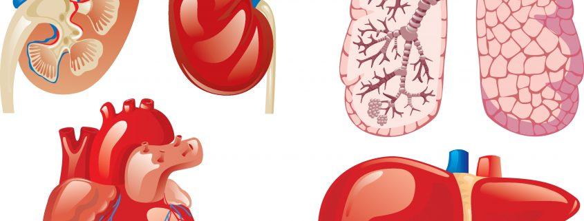 Organer-fra-afdoede-donorer-gaar-til-spilde